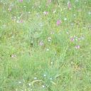 du lin et des orchidées
